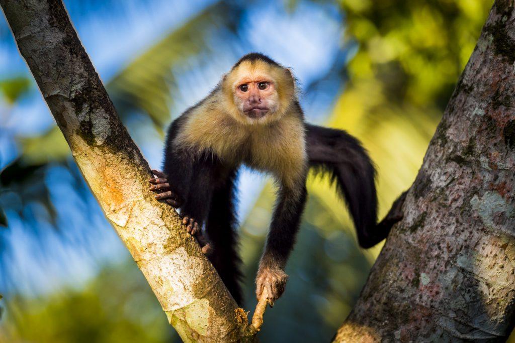 white face monkey