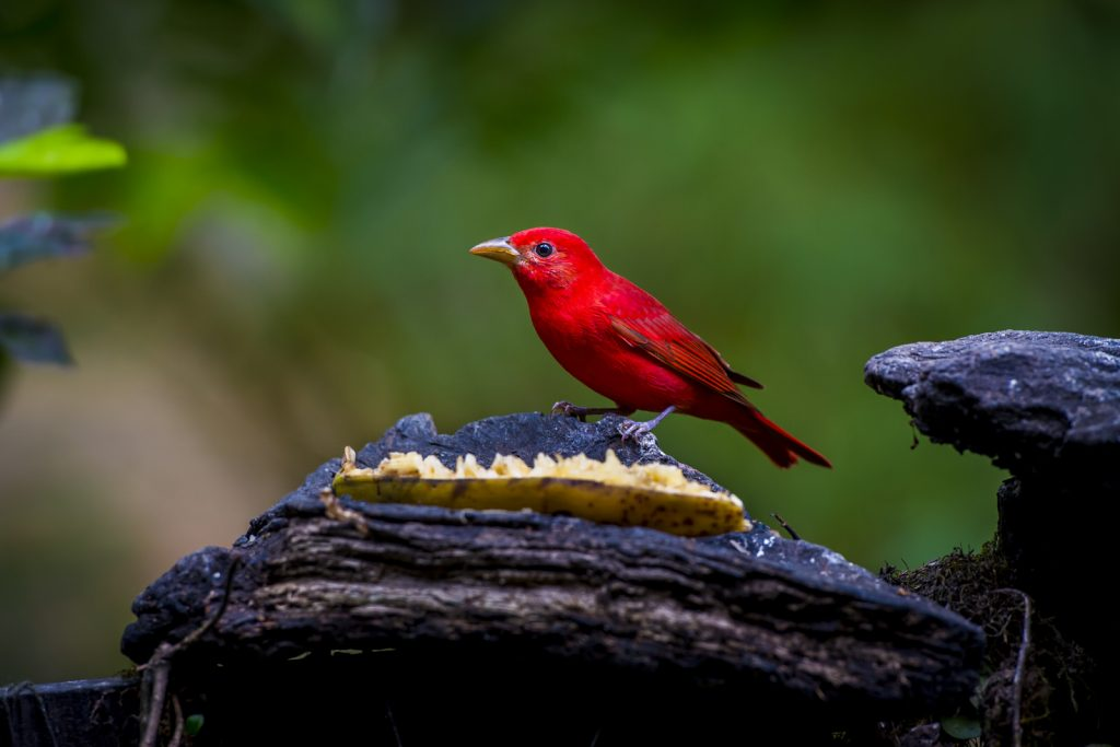 Summer tanager, man