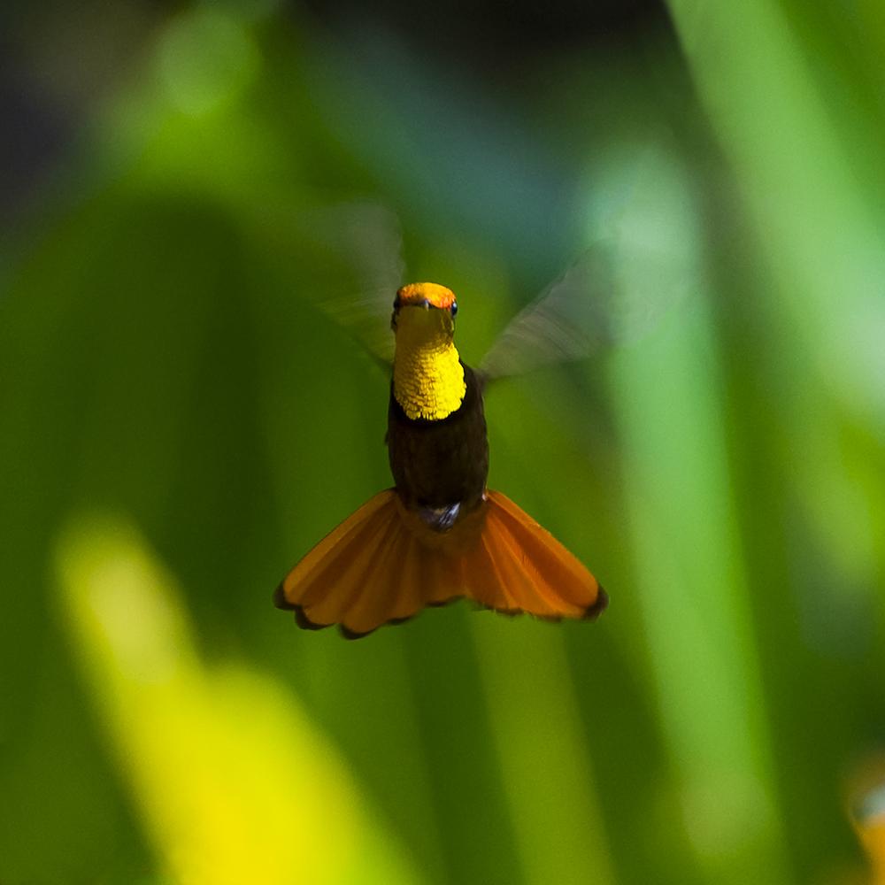 Kolibri bij Arnos Vale