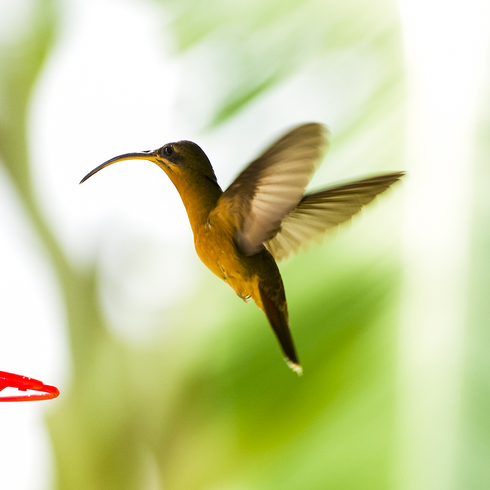 Rufous brested hermit