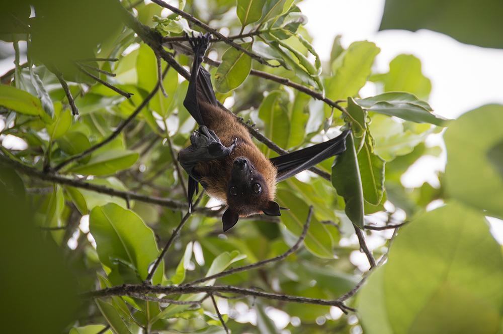 Vleerhond op Embudu
