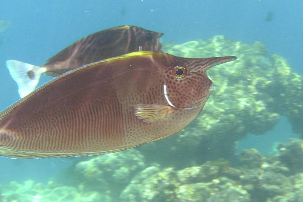 Eenhoornvis