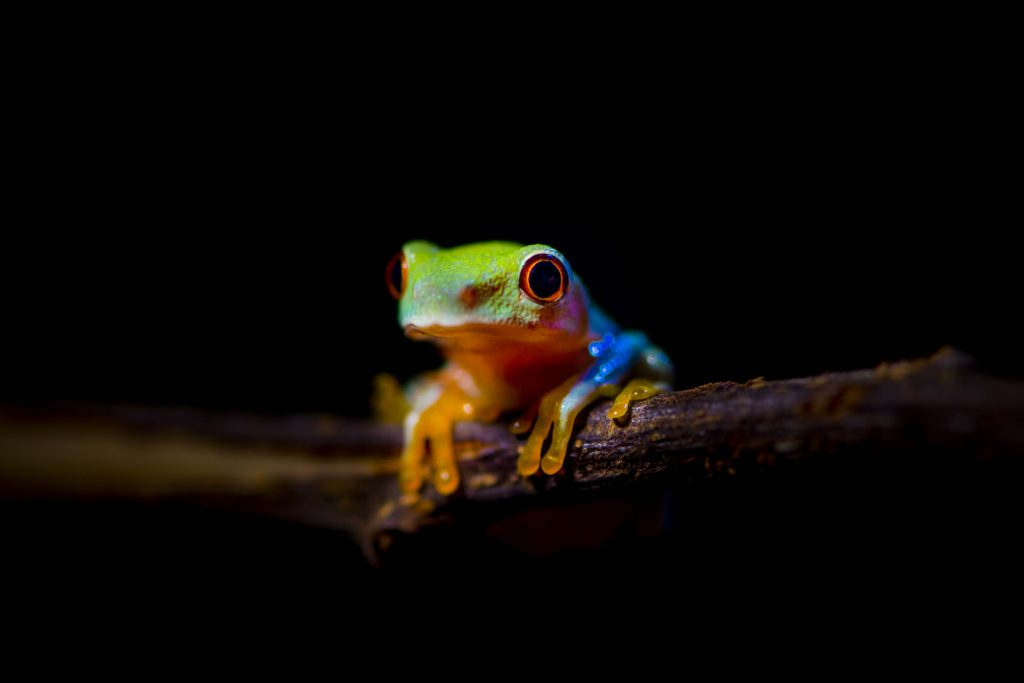 Roodoogmakikikker, red eye tree frog (juvenile)