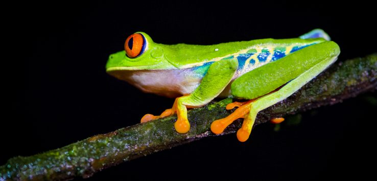 Roodoogmakikikker, red eye tree frog
