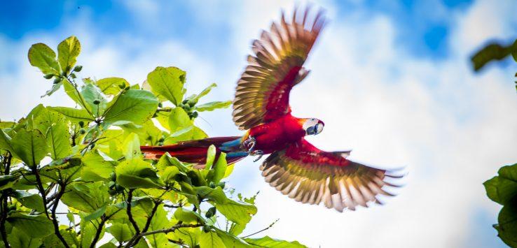 Scarlet Macaws Playa Bejuco