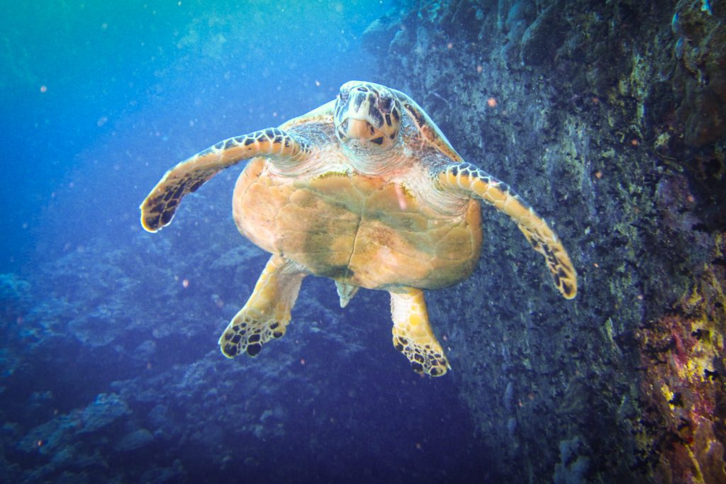 Karetschildpad Egypte