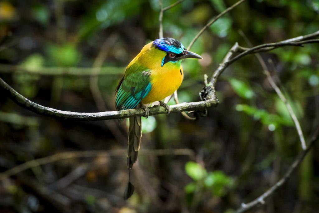 Blauw gekroonde motmot, Costa Rica
