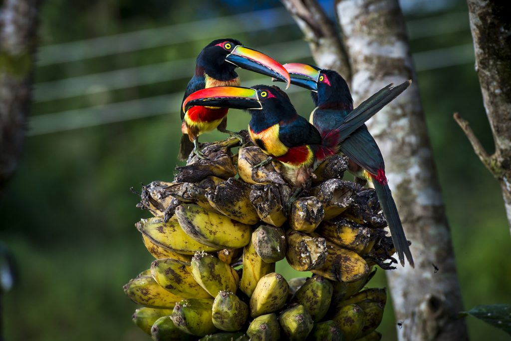 Vuursnavel arassari, Costa Rica