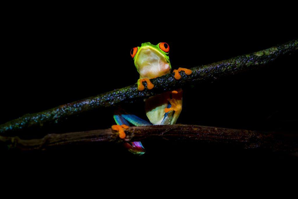 Roodoogmakikikker Costa Rica