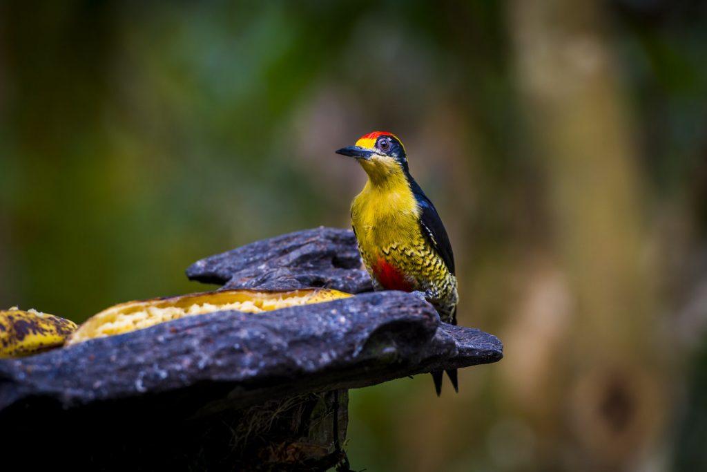 Specht Costa Rica