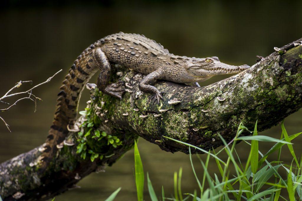 Baby krokodil Costa Rica