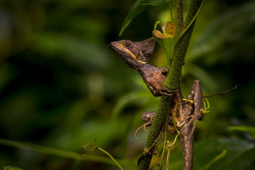 Jesus Christ lizard Costa Rica