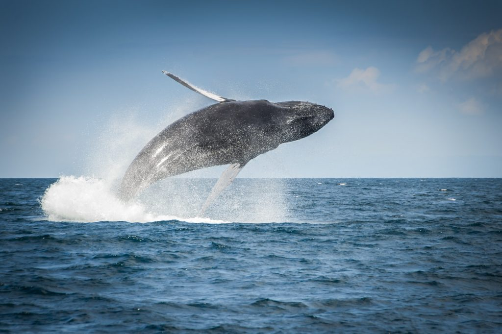 Bultrug walvis Dominicaanse Republiek
