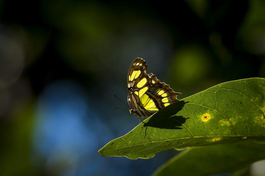 Vlinder Dominicaanse Republiek