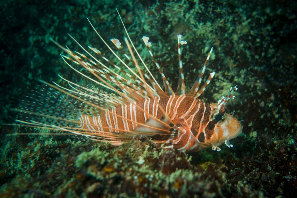 indische koraalduivel