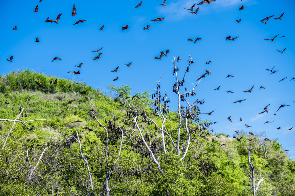 Vleermuizen in Riung