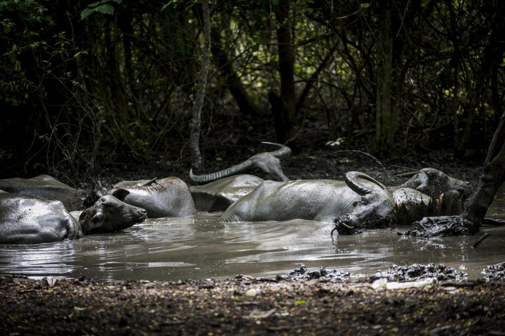 waterbuffels riung