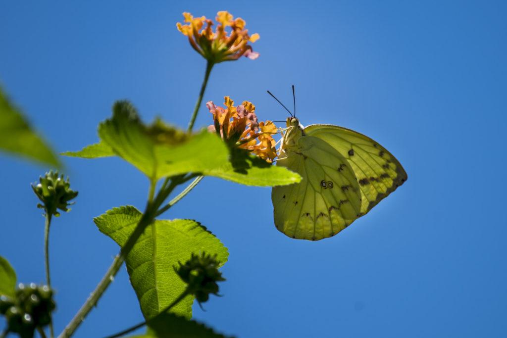 vlinders in Riung