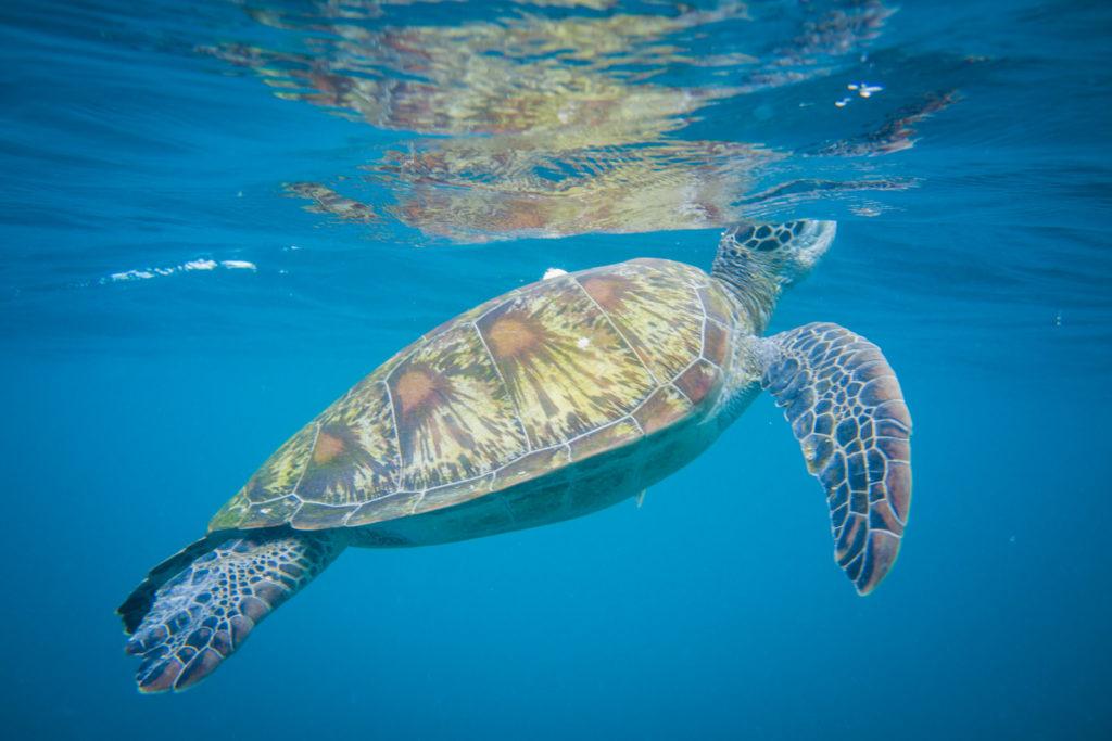 Lucht happende schildpad
