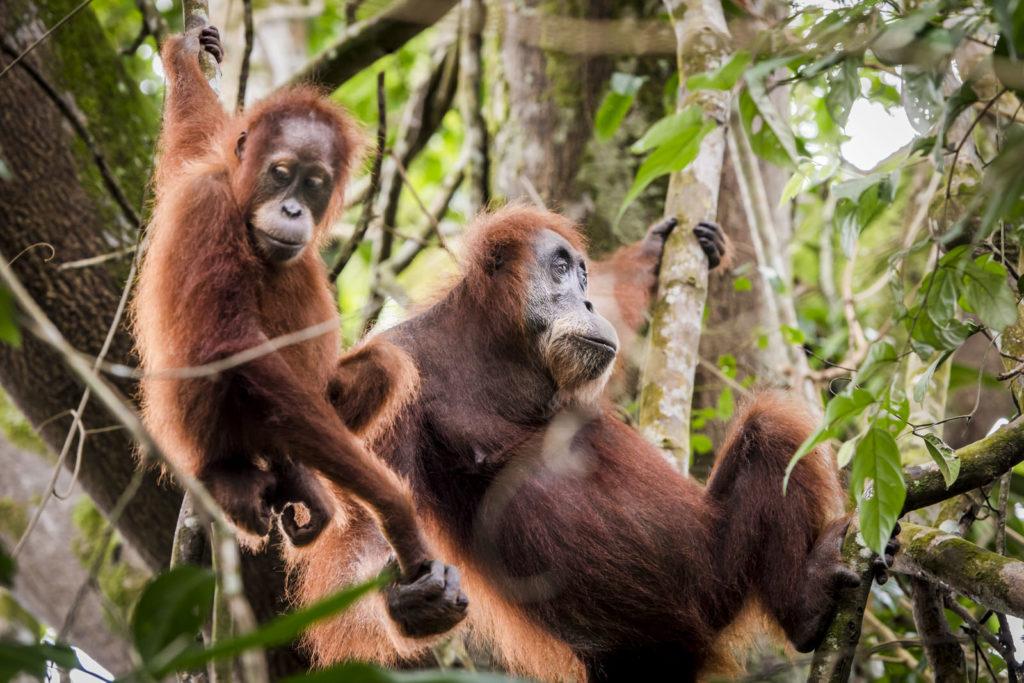 Orang Oetan Sumatra